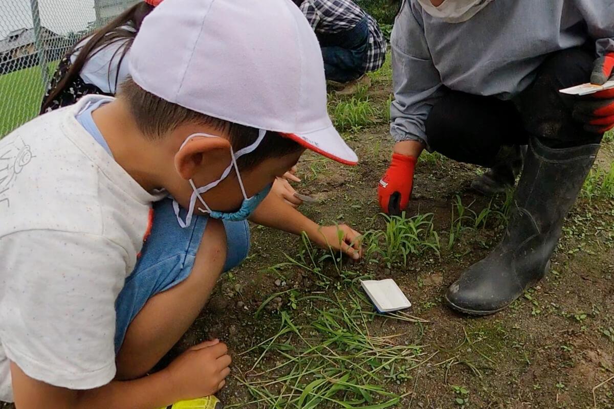 幸久小学校 箒草の間引きを行いました